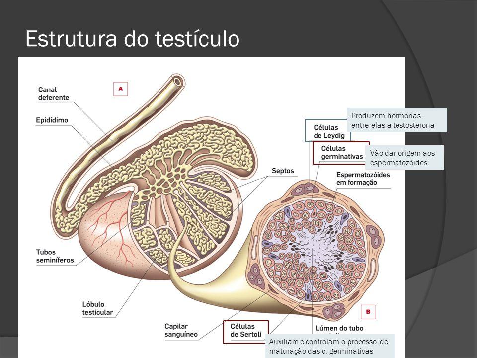 Estrutura do testículo