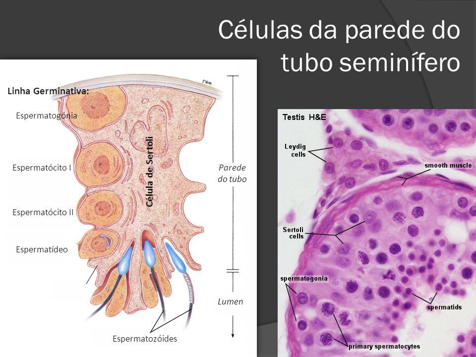 Células da parede do tubo seminífero