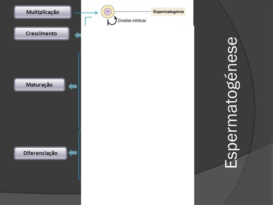 Multiplicação Crescimento Maturação Espermatogénese Diferenciação