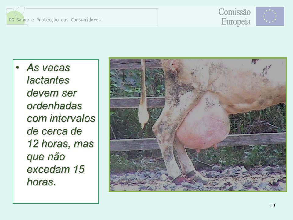 As vacas lactantes devem ser ordenhadas com intervalos de cerca de 12 horas, mas que não excedam 15 horas.
