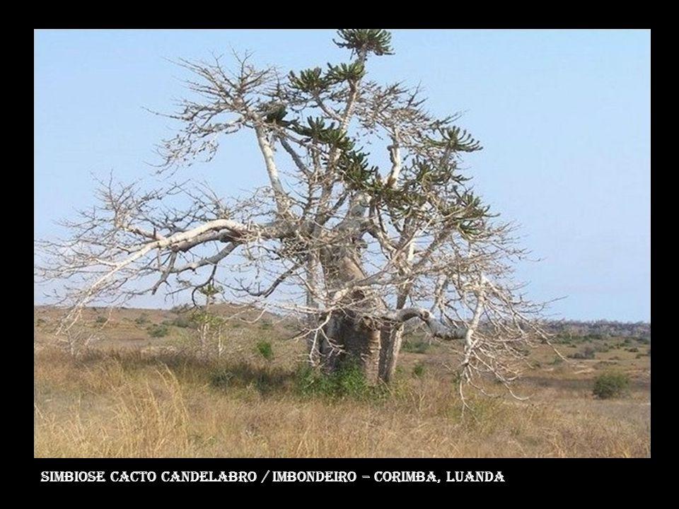 Simbiose Cacto Candelabro / Imbondeiro – corimba, luanda