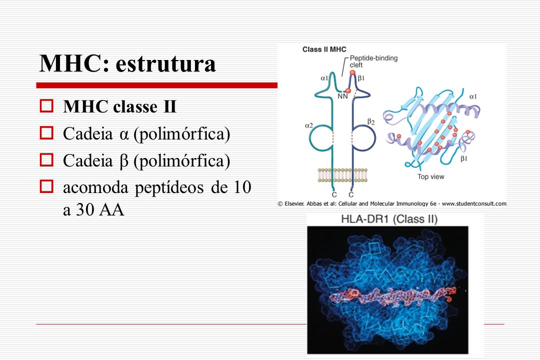 MHC: estrutura MHC classe II Cadeia α (polimórfica)