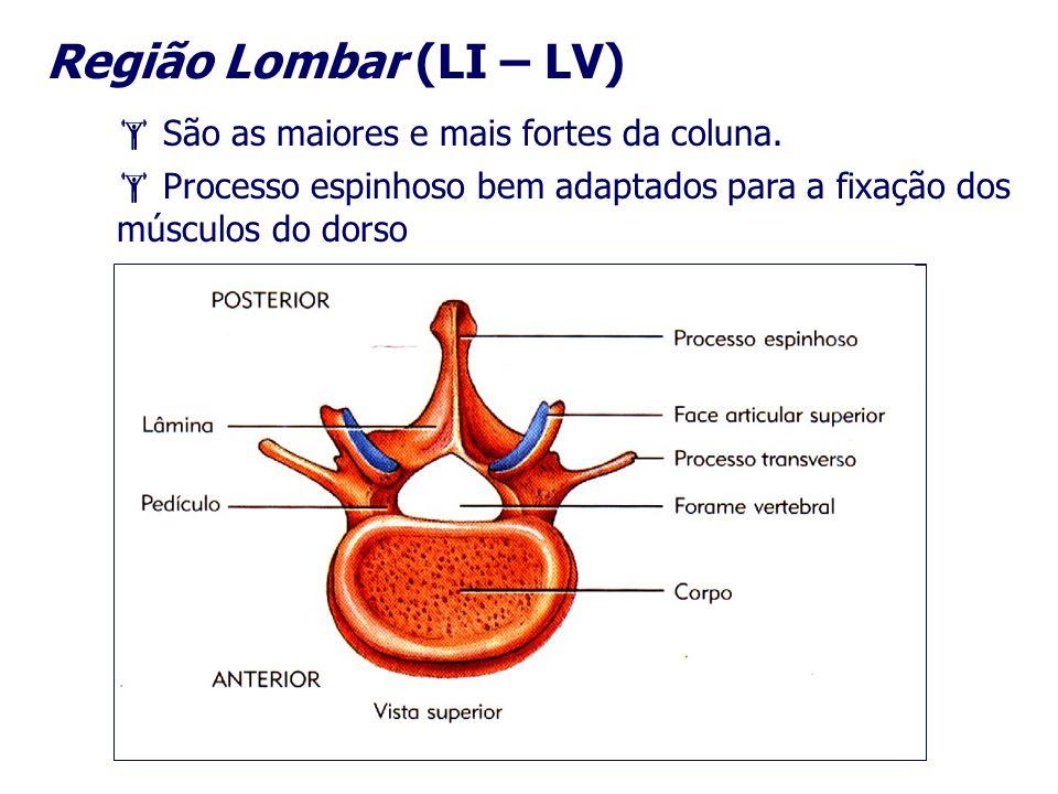 Região Lombar (LI – LV)  São as maiores e mais fortes da coluna.