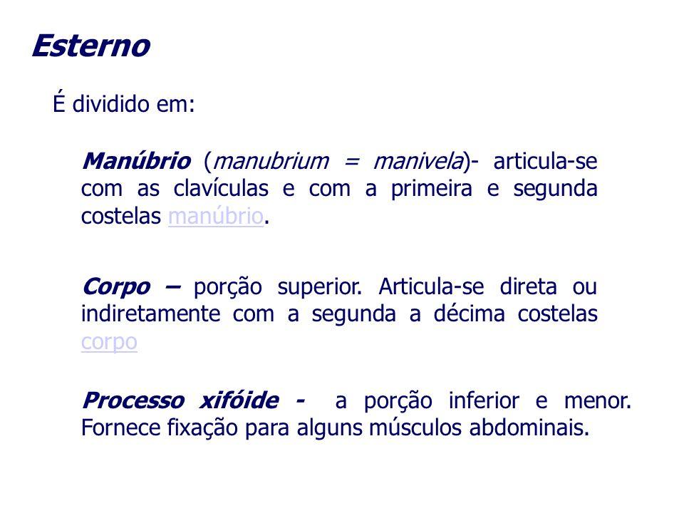 EsternoÉ dividido em: Manúbrio (manubrium = manivela)- articula-se com as clavículas e com a primeira e segunda costelas manúbrio.