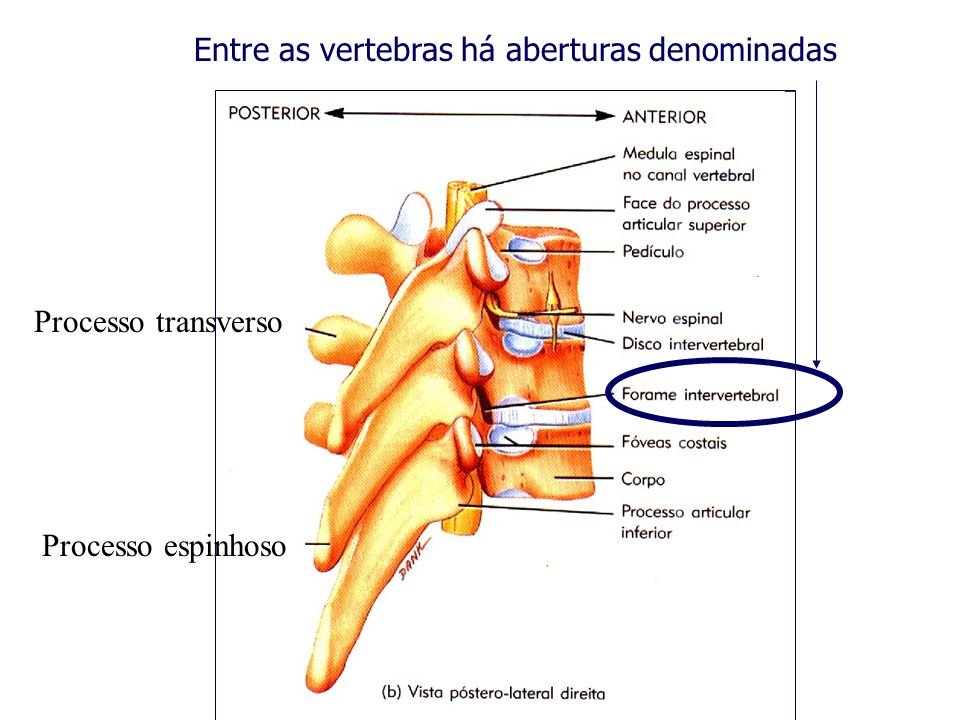 Entre as vertebras há aberturas denominadas