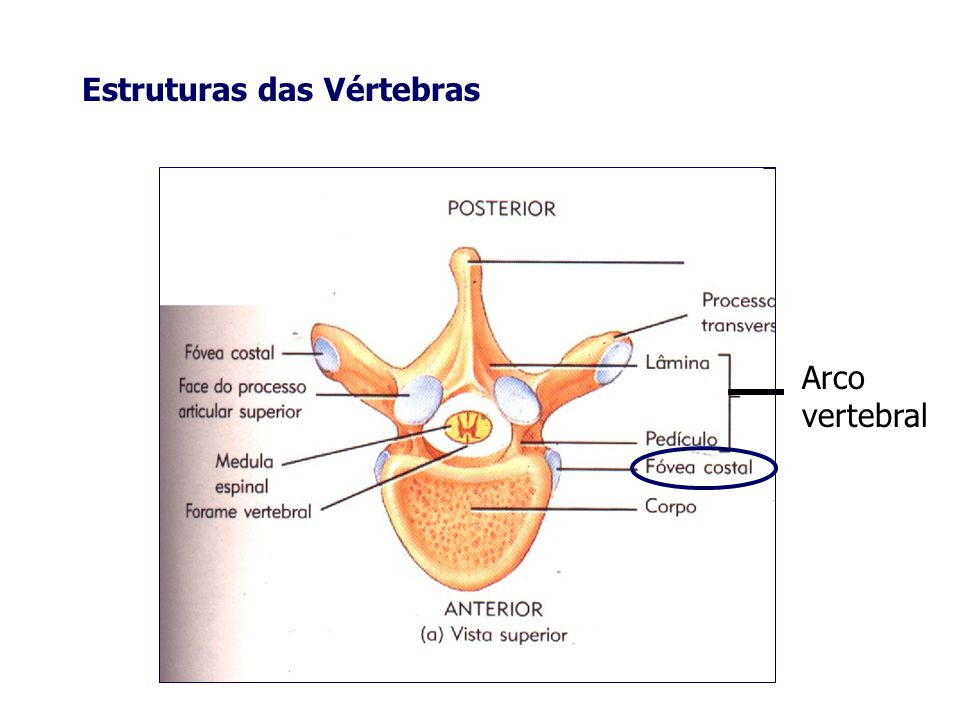 Estruturas das Vértebras