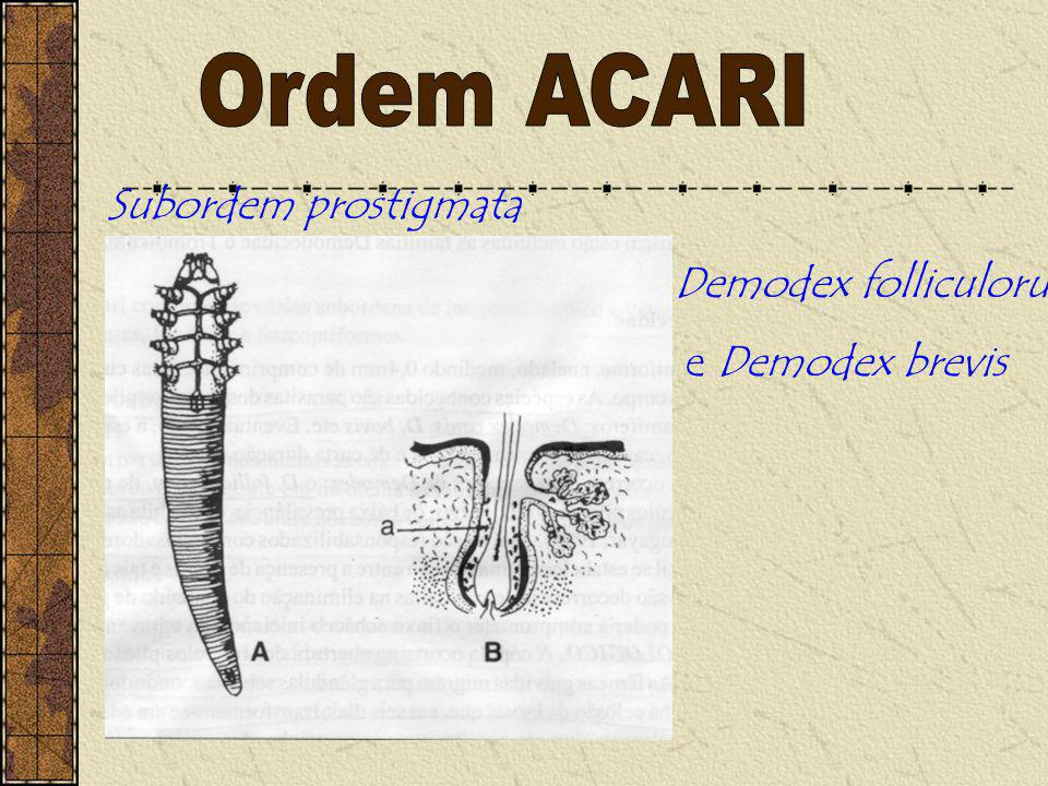 Ordem ACARI Subordem prostigmata Demodex folliculorum e Demodex brevis