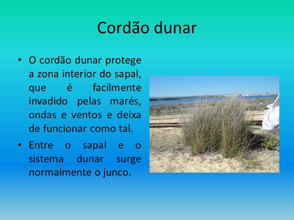 Cordão dunar O cordão dunar protege a zona interior do sapal, que é facilmente invadido pelas marés, ondas e ventos e deixa de funcionar como tal.