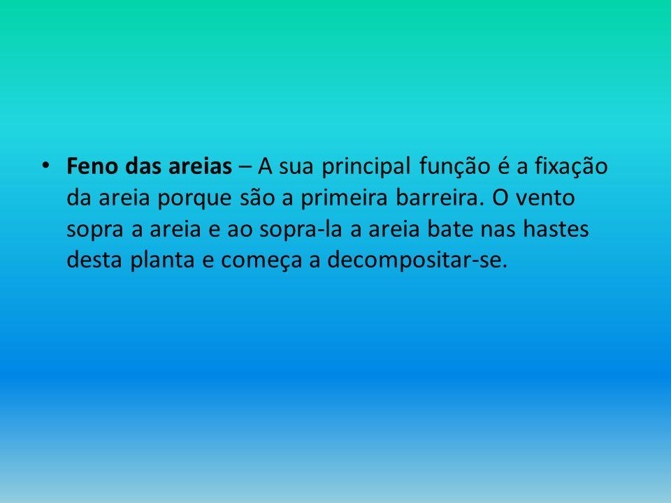 Feno das areias – A sua principal função é a fixação da areia porque são a primeira barreira.
