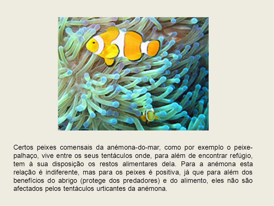 Certos peixes comensais da anémona-do-mar, como por exemplo o peixe-palhaço, vive entre os seus tentáculos onde, para além de encontrar refúgio, tem à sua disposição os restos alimentares dela.