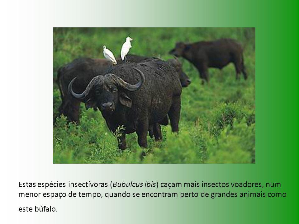 Estas espécies insectívoras (Bubulcus ibis) caçam mais insectos voadores, num menor espaço de tempo, quando se encontram perto de grandes animais como este búfalo.