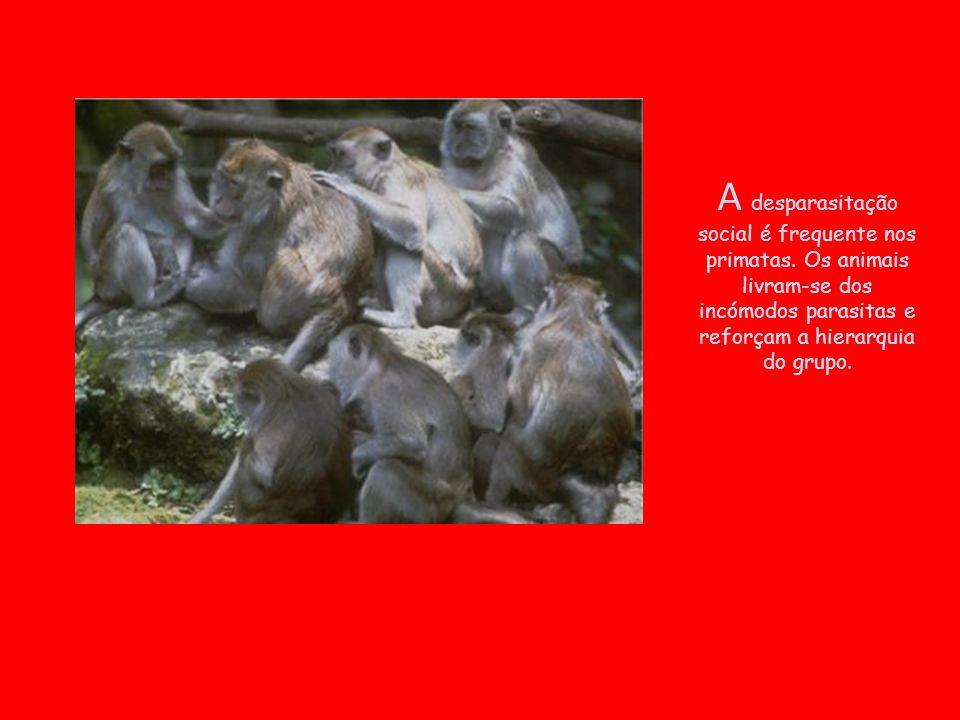 A desparasitação social é frequente nos primatas