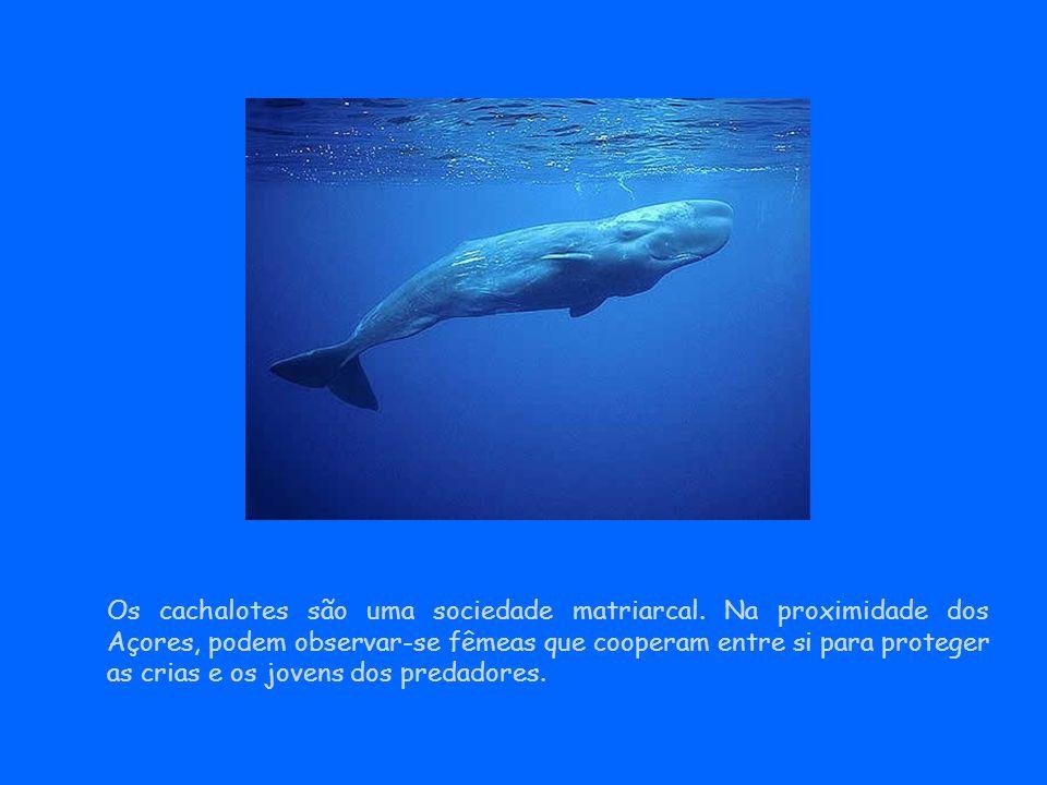 Os cachalotes são uma sociedade matriarcal