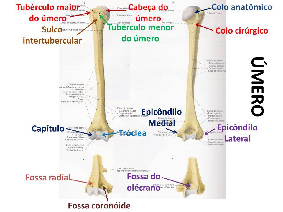 ÚMERO Colo anatômico Tubérculo maior do úmero Cabeça do úmero