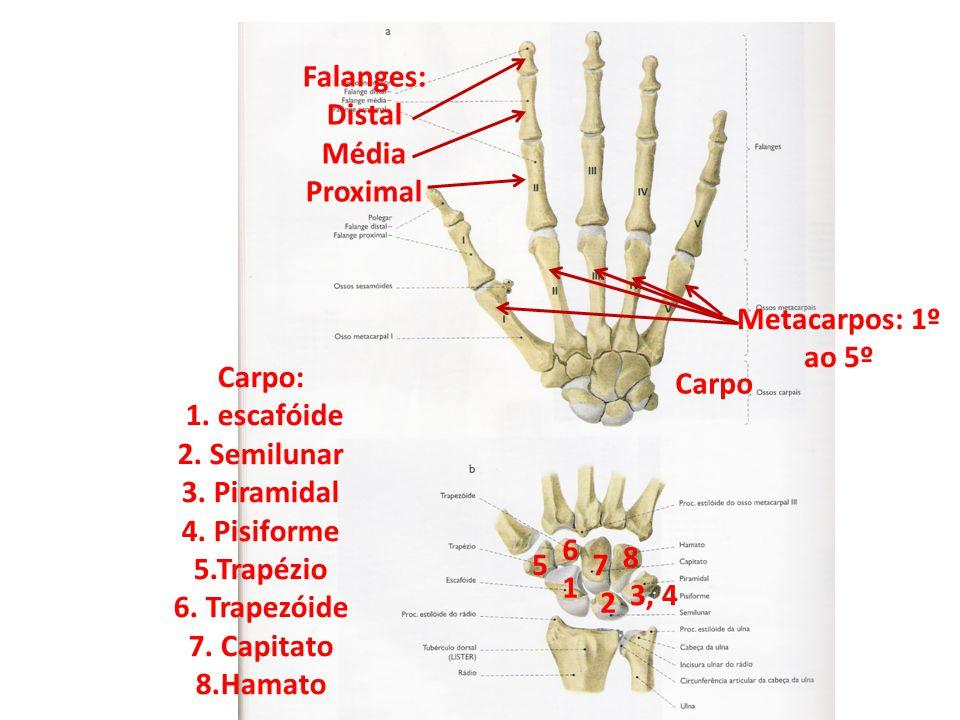 Falanges: Distal. Média. Proximal. Metacarpos: 1º ao 5º. Carpo. Carpo: 1. escafóide. 2. Semilunar.