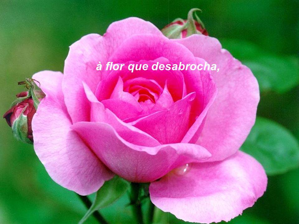 à flor que desabrocha,