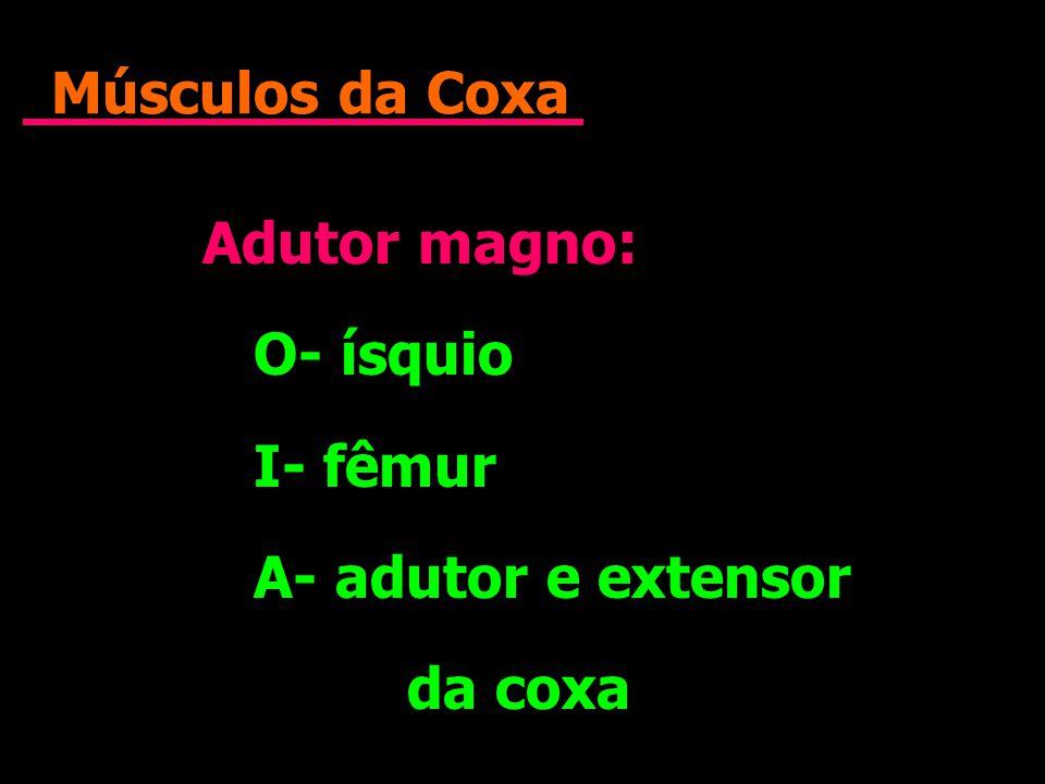 Músculos da Coxa Adutor magno: O- ísquio I- fêmur A- adutor e extensor da coxa