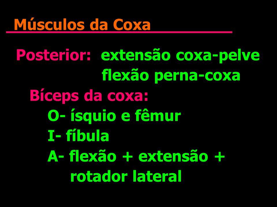 Músculos da Coxa Posterior: extensão coxa-pelve. flexão perna-coxa. Bíceps da coxa: O- ísquio e fêmur.