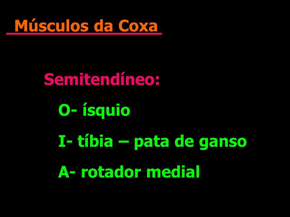 Músculos da Coxa Semitendíneo: O- ísquio I- tíbia – pata de ganso A- rotador medial