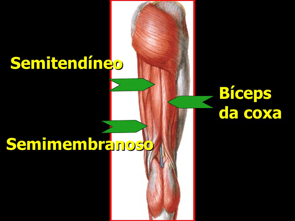 Semitendíneo Bíceps da coxa Semimembranoso