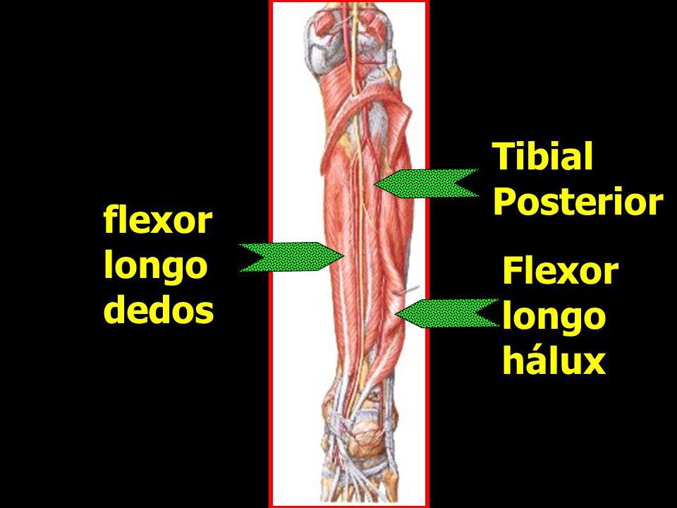 Tibial Posterior flexor longo dedos Flexor longo hálux
