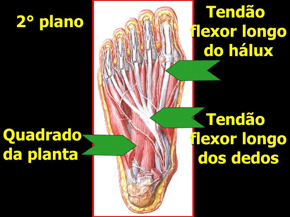 Tendão flexor longo do hálux 2° plano Tendão flexor longo dos dedos Quadrado da planta