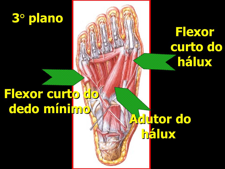 3° plano Flexor curto do hálux Flexor curto do dedo mínimo Adutor do hálux