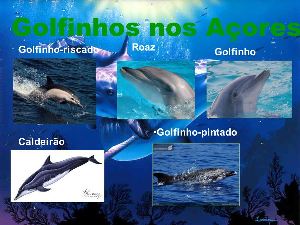 Golfinhos nos Açores Roaz Golfinho-riscado Golfinho comum