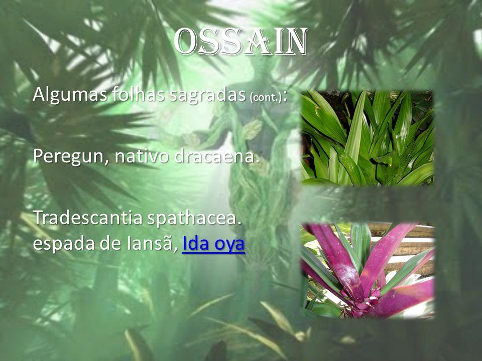 OSSAIN Algumas folhas sagradas (cont.): Peregun, nativo dracaena.