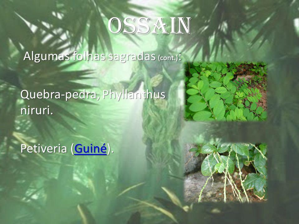 OSSAIN Algumas folhas sagradas (cont.): Quebra-pedra, Phyllanthus niruri. Petiveria (Guiné).