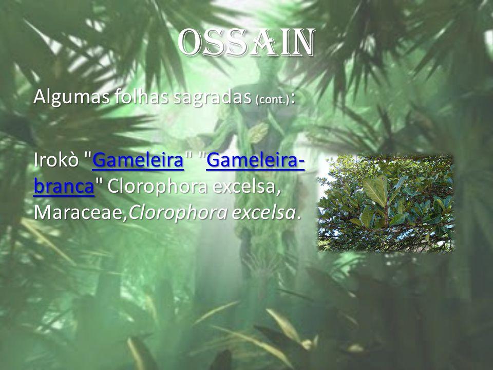 OSSAIN Algumas folhas sagradas (cont.): Irokò Gameleira Gameleira-branca Clorophora excelsa, Maraceae,Clorophora excelsa.