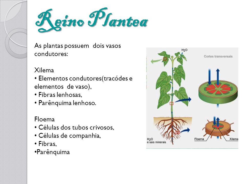Reino Plantea As plantas possuem dois vasos condutores: Xilema