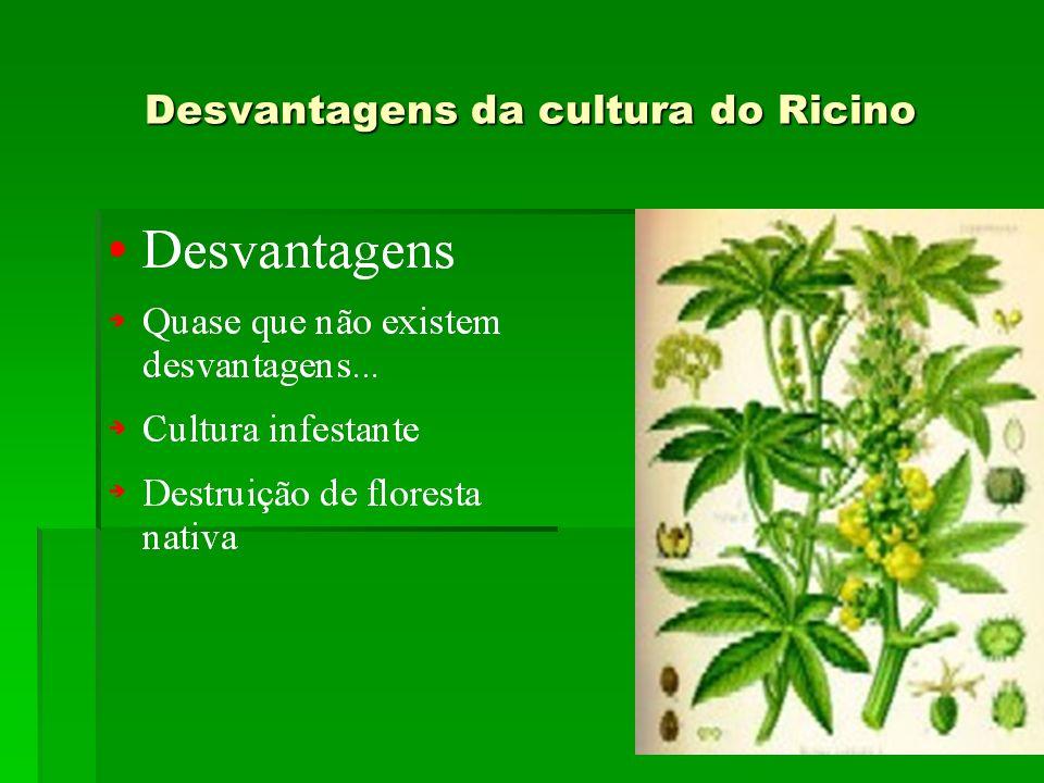 Desvantagens da cultura do Ricino