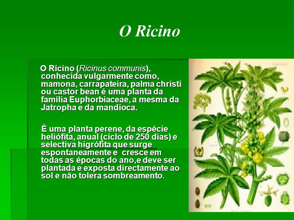 O Rícino (Ricinus communis), conhecida vulgarmente como, mamona, carrapateira, palma christi ou castor bean é uma planta da família Euphorbiaceae, a mesma da Jatropha e da mandioca.