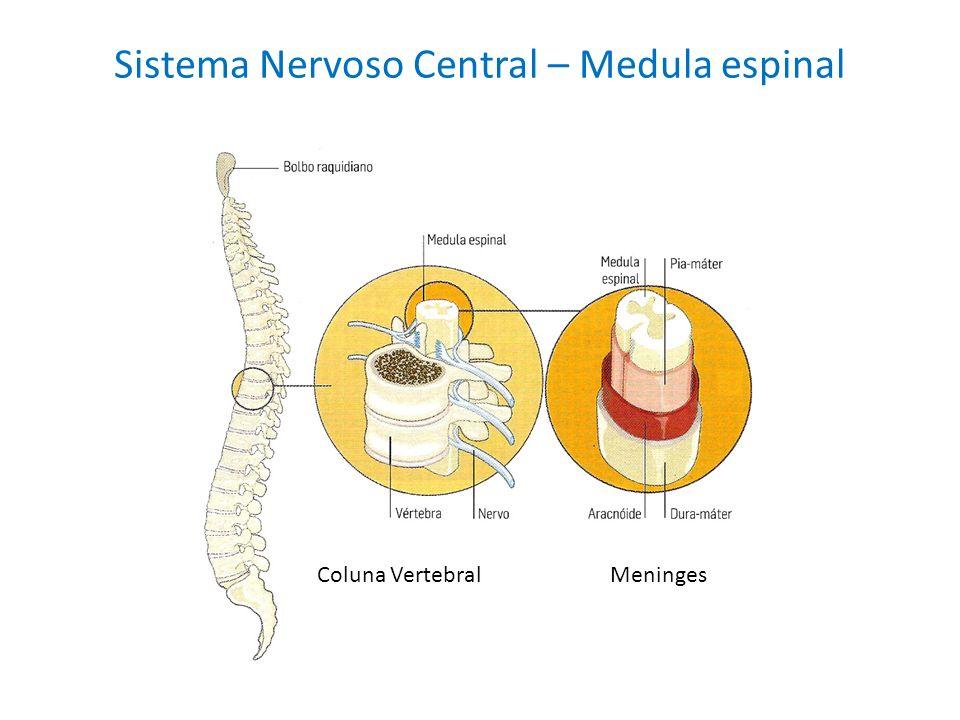 Sistema Nervoso Central – Medula espinal