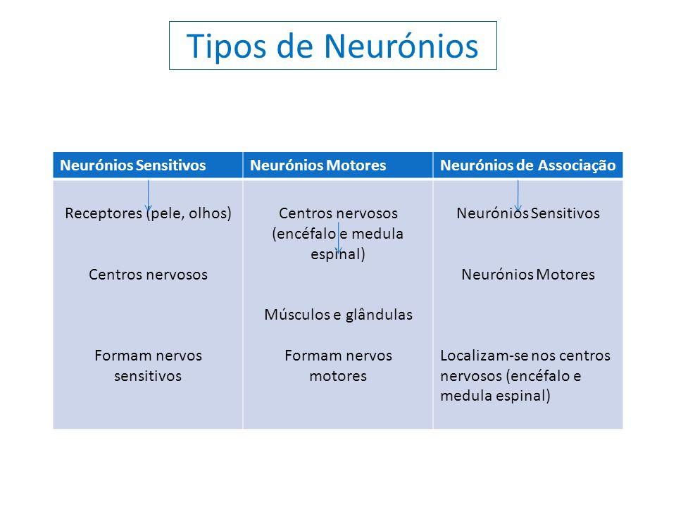 Tipos de Neurónios Neurónios Sensitivos Neurónios Motores