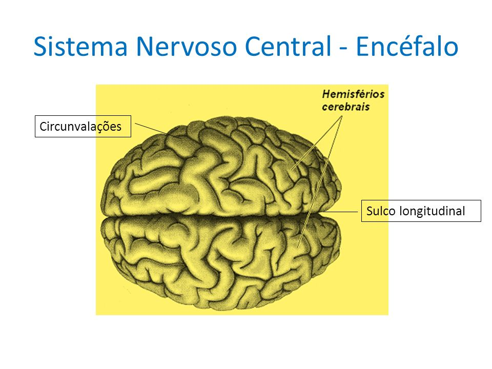 Sistema Nervoso Central - Encéfalo