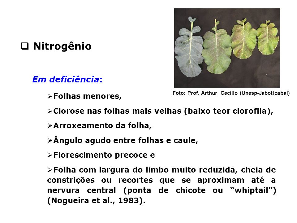 Nitrogênio Em deficiência: Folhas menores,