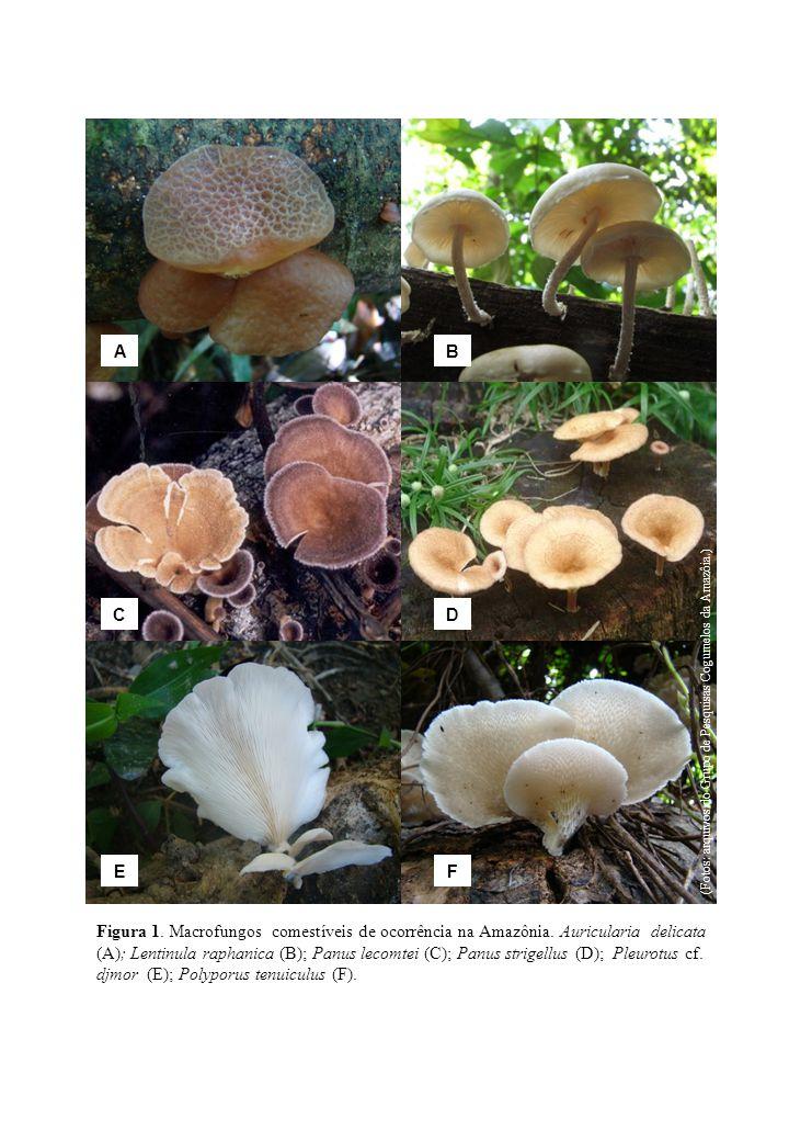 A B. C. D. E. F. (Fotos: arquivos do Grupo de Pesquisas Cogumelos da Amazôia.)
