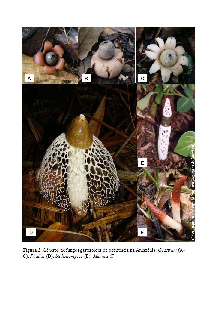 A B. C. D. E. F. (Fotos: arquivos do Grupo de Pesquisas Cogumelos da Amazônia)