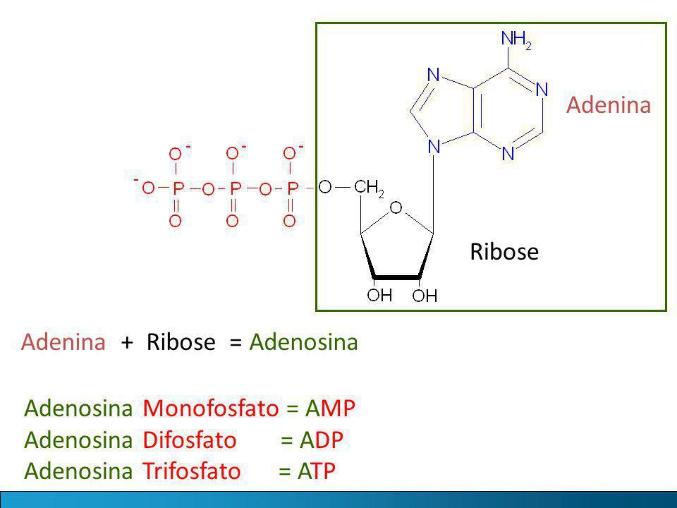 Adenina Ribose. Adenina + Ribose = Adenosina. Adenosina Monofosfato = AMP. Adenosina Difosfato = ADP.