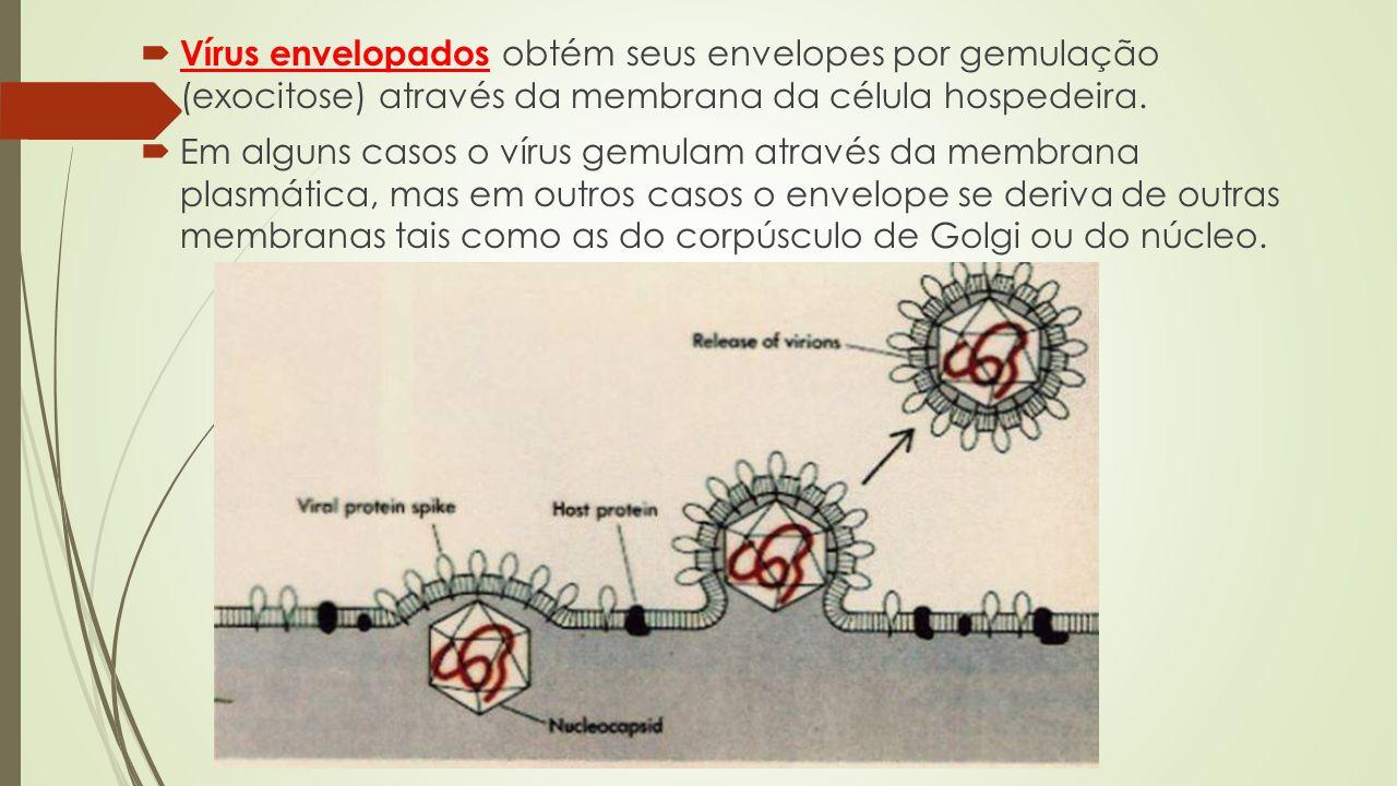 Vírus envelopados obtém seus envelopes por gemulação (exocitose) através da membrana da célula hospedeira.