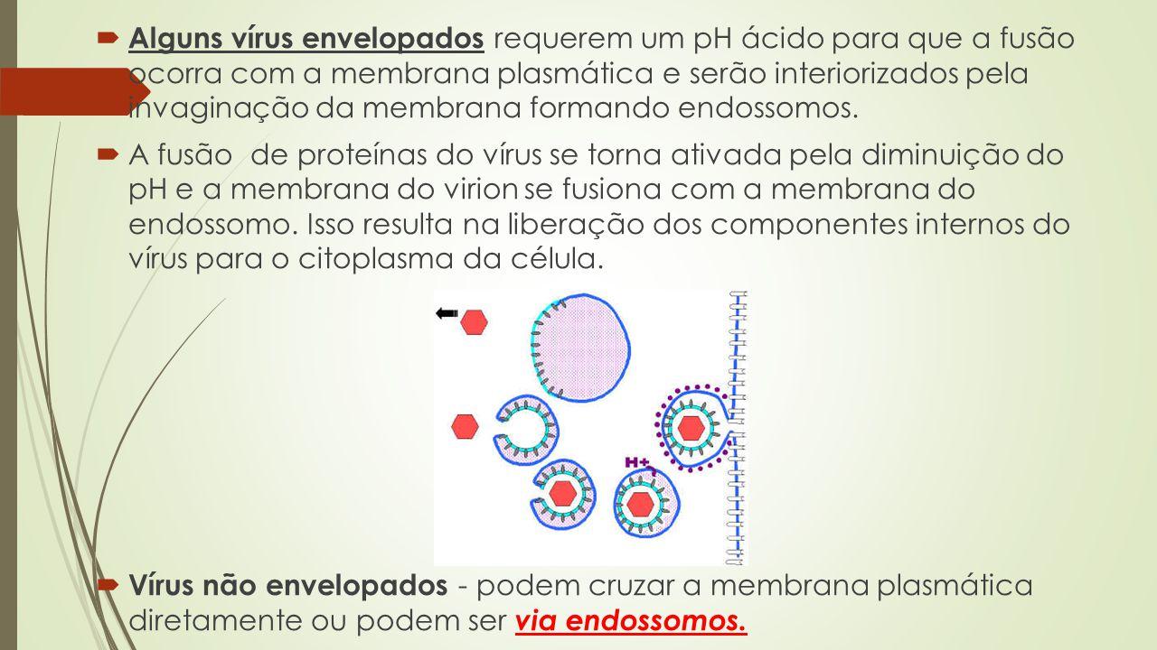 Alguns vírus envelopados requerem um pH ácido para que a fusão ocorra com a membrana plasmática e serão interiorizados pela invaginação da membrana formando endossomos.