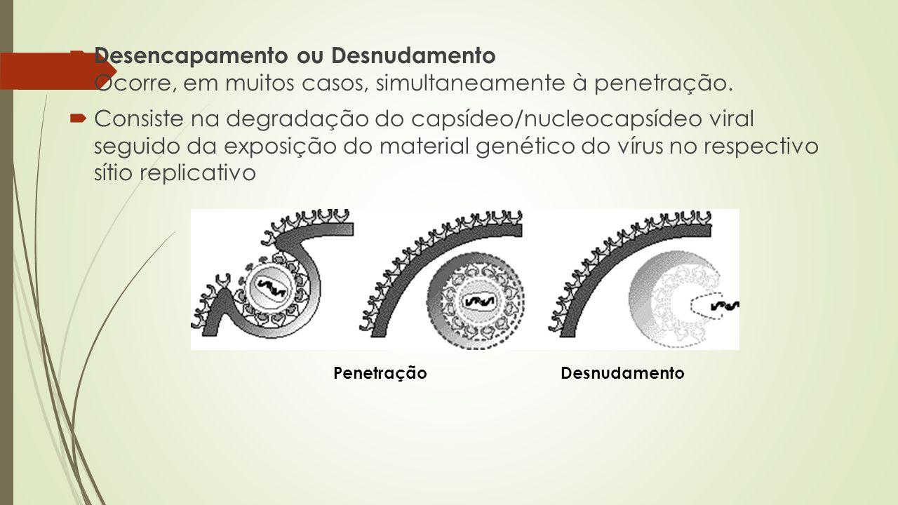 Desencapamento ou Desnudamento Ocorre, em muitos casos, simultaneamente à penetração.