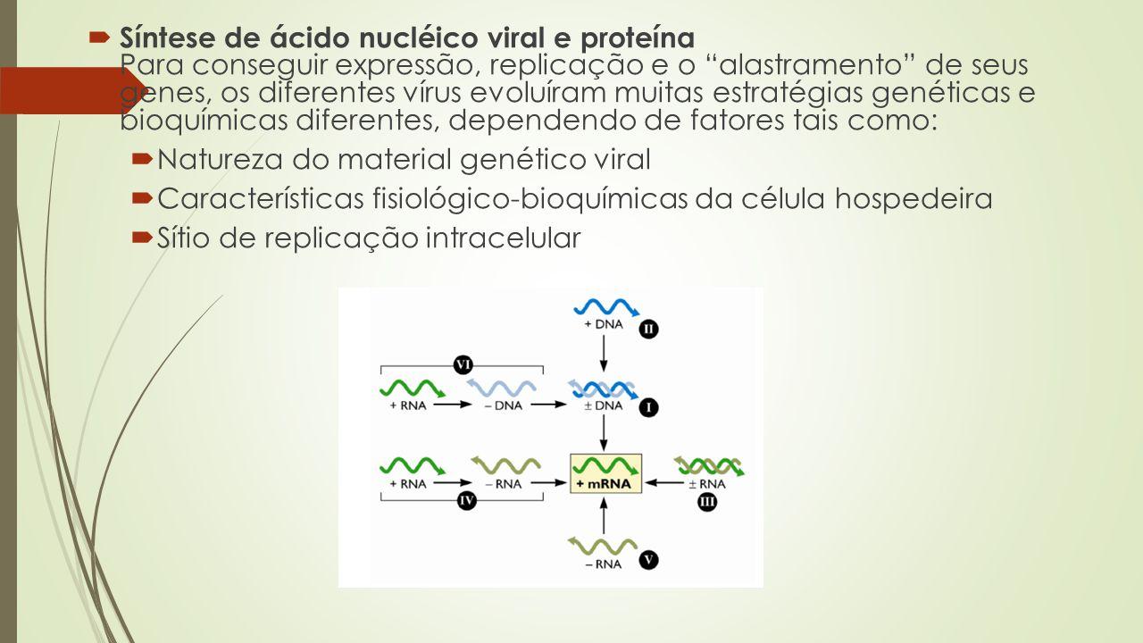 Síntese de ácido nucléico viral e proteína Para conseguir expressão, replicação e o alastramento de seus genes, os diferentes vírus evoluíram muitas estratégias genéticas e bioquímicas diferentes, dependendo de fatores tais como:
