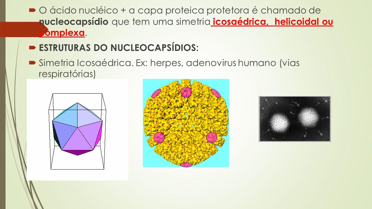 O ácido nucléico + a capa proteica protetora é chamado de nucleocapsídio que tem uma simetria icosaédrica, helicoidal ou complexa.