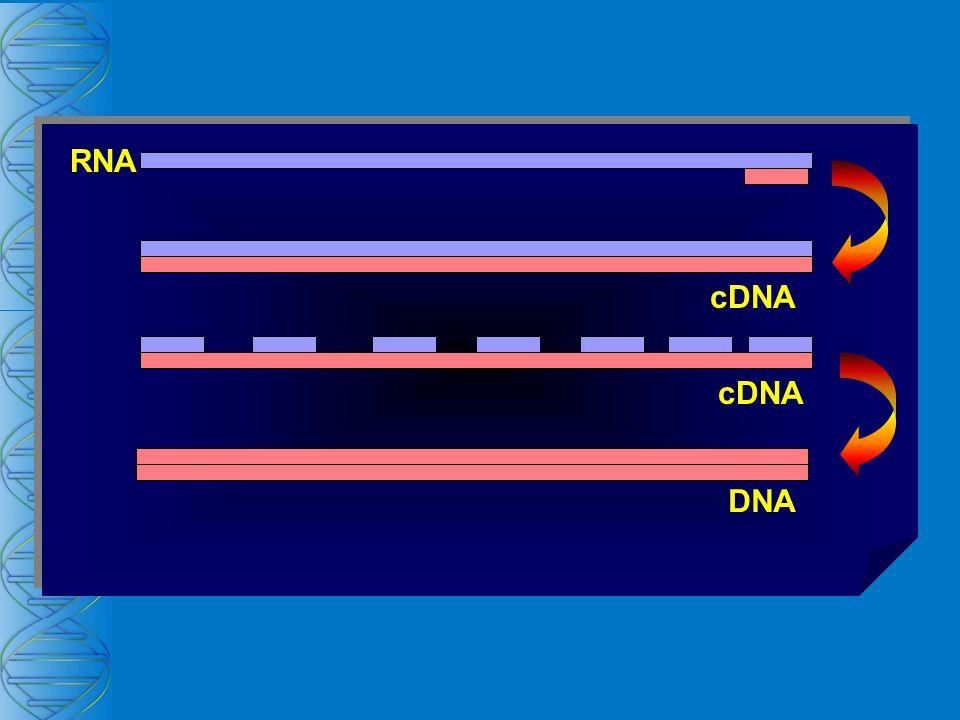 RNA cDNA cDNA DNA