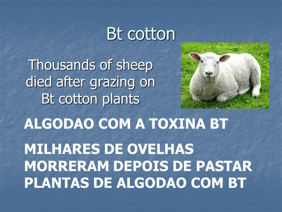 Thousands of sheep died after grazing on Bt cotton plants