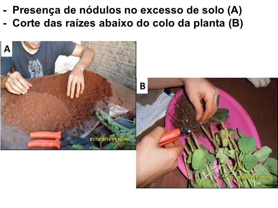 - Presença de nódulos no excesso de solo (A) - Corte das raízes abaixo do colo da planta (B)