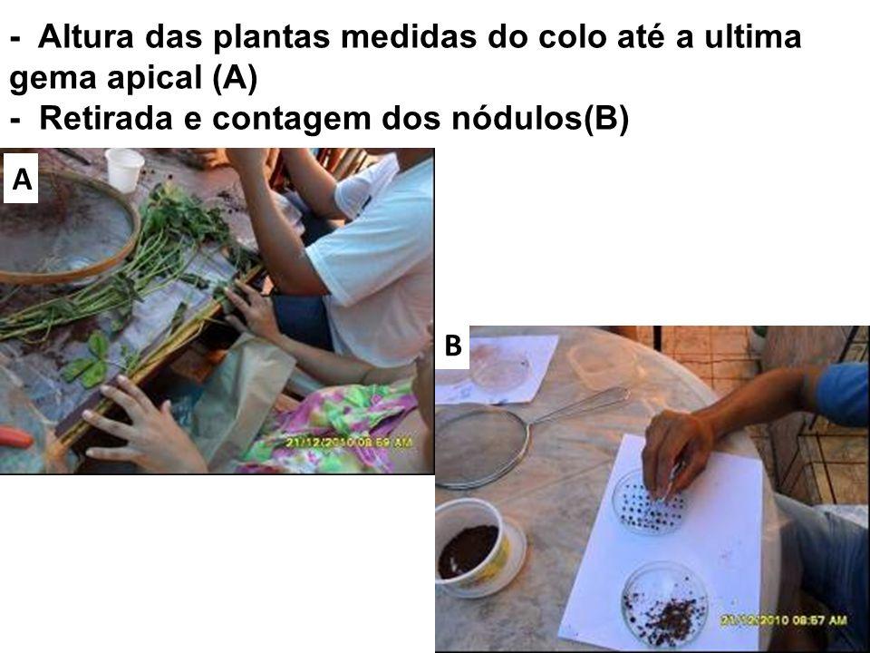 - Altura das plantas medidas do colo até a ultima gema apical (A) - Retirada e contagem dos nódulos(B)